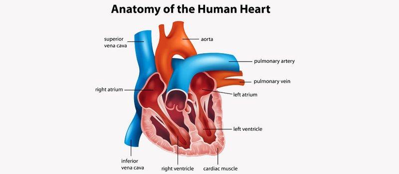 Il cuore, il muscolo della vita